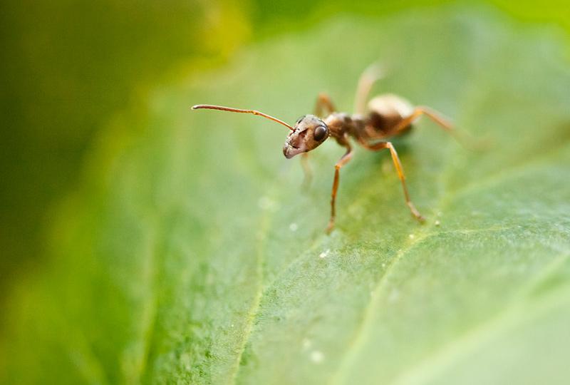mrowka rudnica2 Wakacje u robaczków